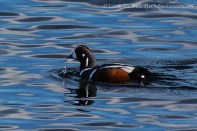 Male Harlequin duck with water dripping from his beak
