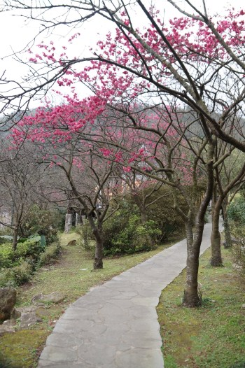 Cherry flowers seen at Yangmingshan National Park. Photo by Arsene Lo