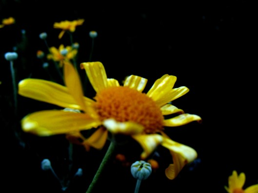 daisies in the dark