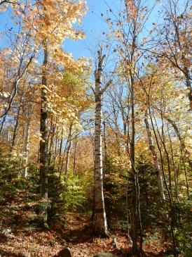 Lone birch tree
