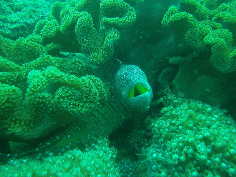 Spotted Murray Eel, Gulf of Oman
