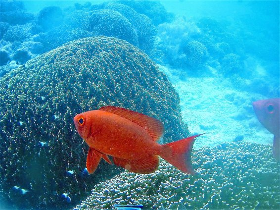 Crescent-tail bigeye,Priacanthus hamrur, Indian Ocean