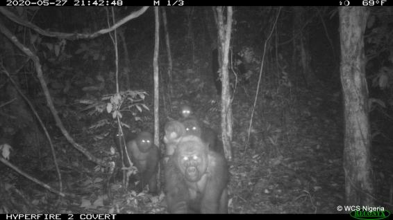 Cross River gorilla family with infants - WSC Camera-Trap