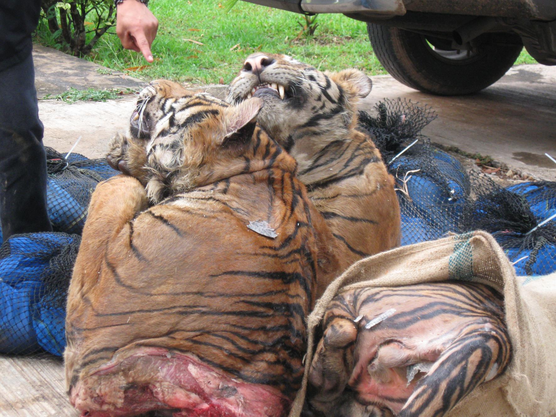 Image of: Good News Httpfsjdallindiafileswordpresscom201102 Wwfuk Murder For Meds And Merchandise Tigers The Endangered Species