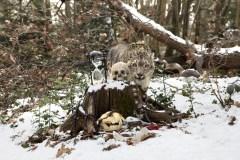 Anne De Carbuccia - Snow Leopard