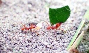 Ants carrying an egg and a leaf