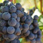 grapes-908757_960_720