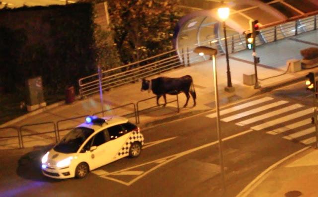 Una vaca se escapa de su cercado y se pasea de madrugada por la zona urbana de Cruces