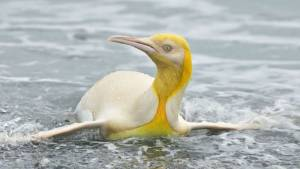 Check Out This Super Rare Yellow Penguin Captured by a Wildlife Photographer