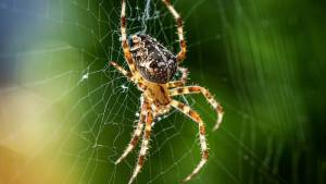 Spider Legs Build Webs Autonomously, without Help from the Brain