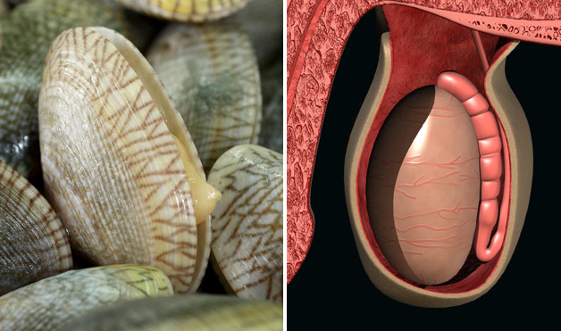 04-Clams-TesticlesFoods-That-Look-Like-Body-Parts-1