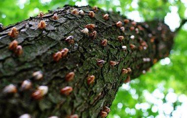 cicada-tree