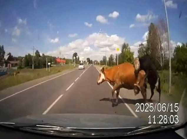 Cows haveing sex