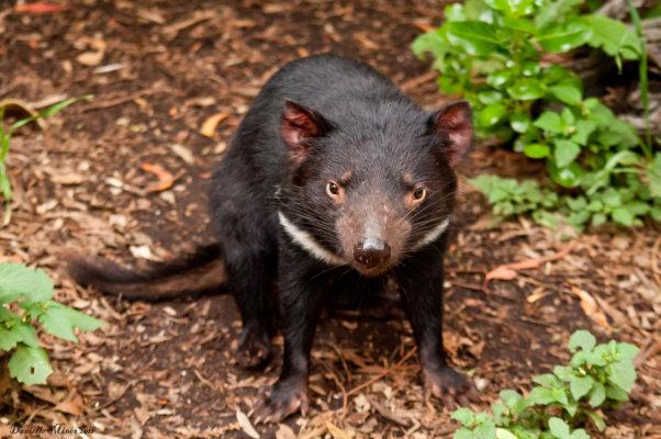tasmanian_devil