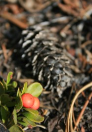 Pinecone berry