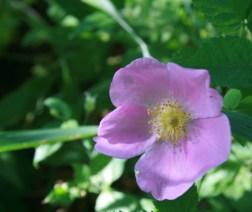 Pink Flower Close