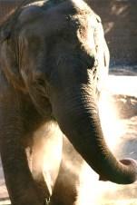 Elephant blowing smoke