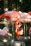 Flamingos taking a drink