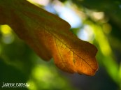Basking oak leaf