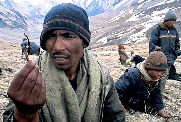 Кордисепс китайский добыча в горах