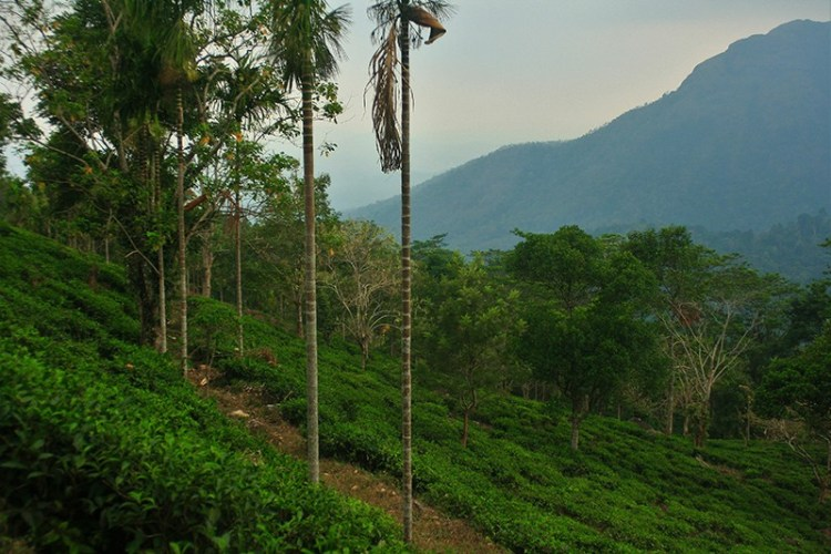 Чайные плантации в Керале