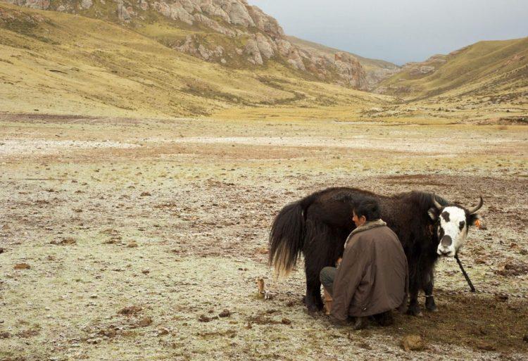 Тибетский молочный гриб. Рецепт лечения царской семьи