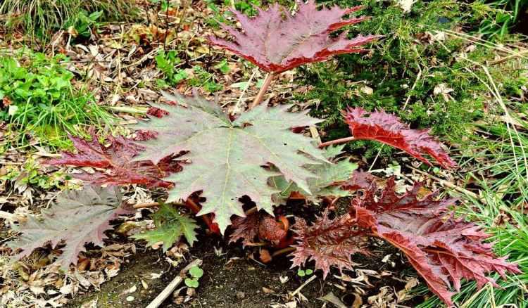 Реве́нь па́льчатый (лат. Rhéum palmátum) — многолетнее травянистое растение из рода Ревень. Это влаголюбивое растение. Родина ревеня пальчатого — горные леса центрального Китая.