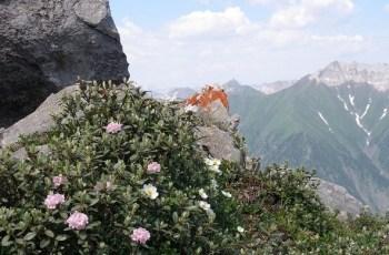 Саган-Дайля лечебная трава из Сибири и Гималаев