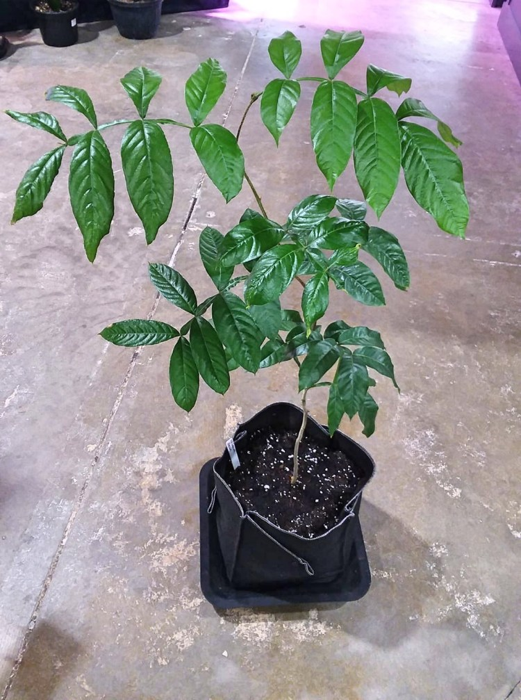 Coffee Bean Plant in Ez Swap Pot