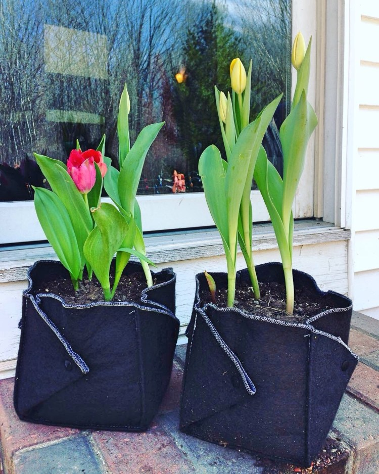 Tulips Growing In Ez Swap Pot