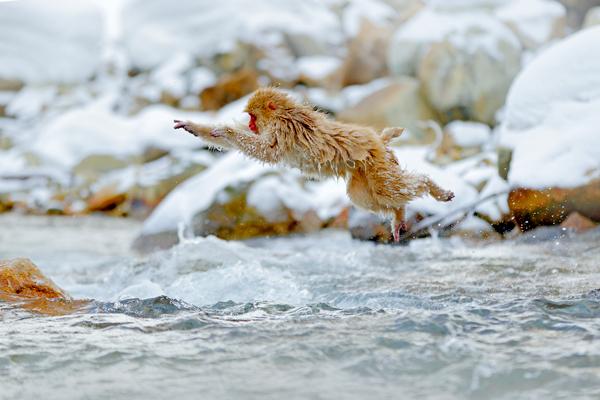Jumping monkey. Action monkey wildlife scene from Japan. Monkey