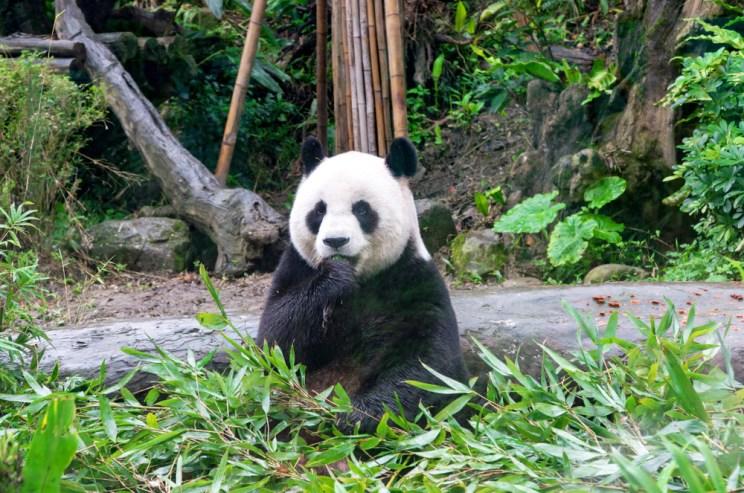 Giant,Panda,Bear,Eating,Bamboo.,Taipei,Zoo,,Taiwan.