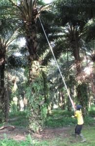 Ouvrier récoltant un régime de palmier à huile