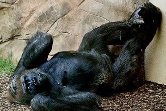 Gorila é o maior dos primatas; animal vive em grupos que têm um chefe, responsável por se acasalar com as fêmeas e gerar filhotes