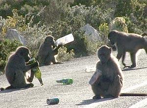 Babuínos na península do Cabo se tornaram problema na região urbana por roubar comida da população local