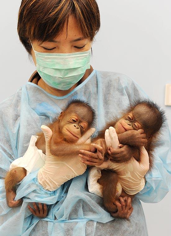 Bebês orangotangos têm menos de uma semana de vida; veja a galeria de imagens