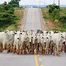 Gado em rodovia no Pará; 51% do gás-estufa mundial é da pecuária, diz estudo