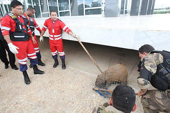 Brigadistas particulares e policiais militares do DF retiram capivara que apareceu no prédio do Supremo