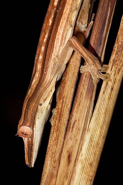 Lagarto no parque Masoala, em Madagascar, que costuma viver entre folhas de palmeiras mortas e caça invertebrados à noite Leia Mais