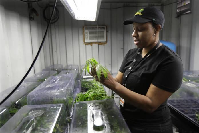 Joy Hollingsworth, da Hollingsworth Cannabis Company, verifica uma planta jovem de maconha perto de Shelton, Washington. Os membros da família Hollingsworth possuem uma fazenda de maconha ao sul de Seattle, onde cultivam cerca de 9.000 plantas e empregam 30 pessoas no pico da colheita