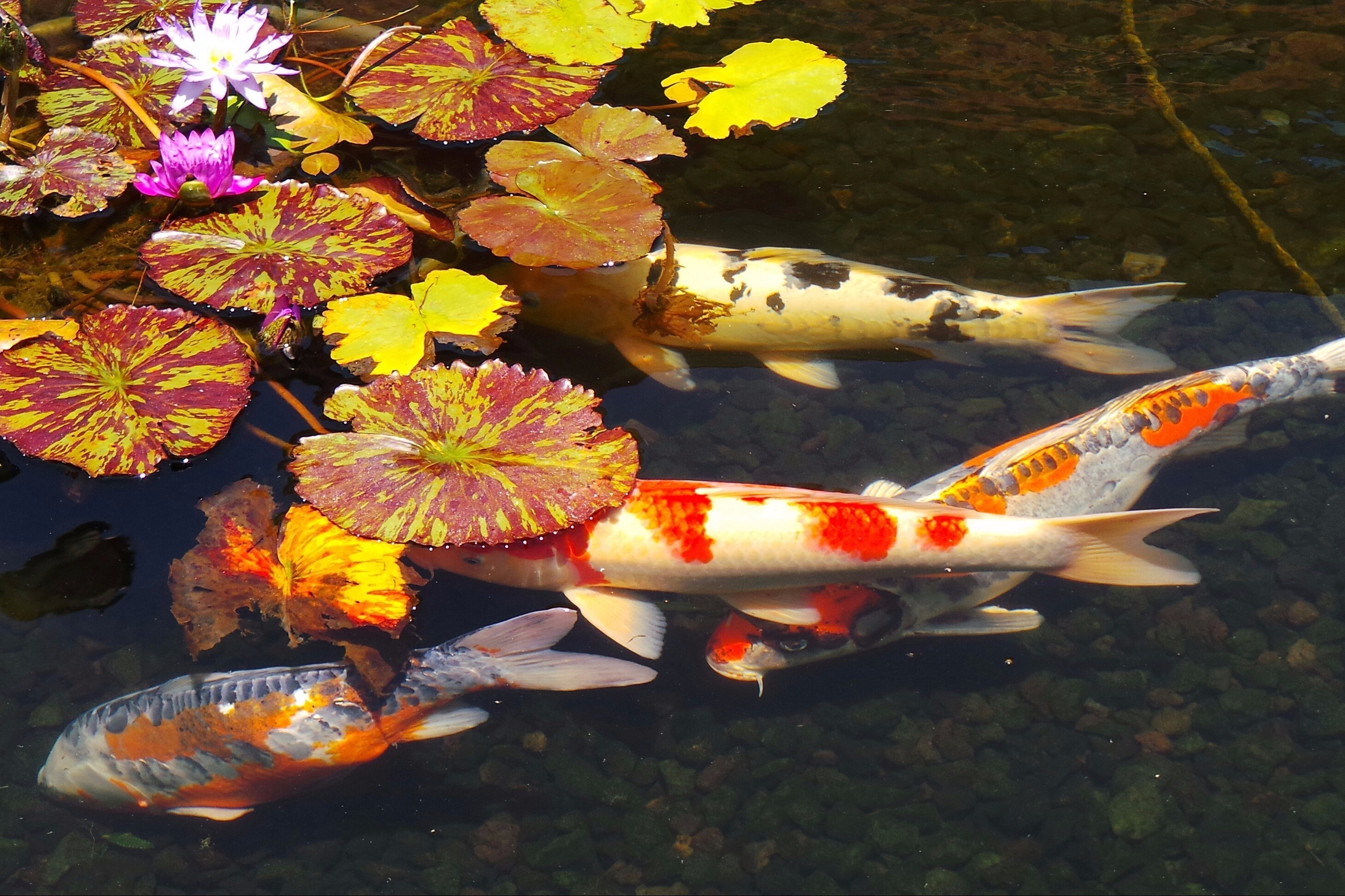 Download 950+ Gambar Ikan Koi Mati HD Gratis