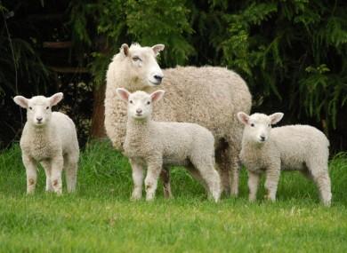 https://i2.wp.com/f2.thejournal.ie/media/2013/08/lambs-3-390x285.jpg