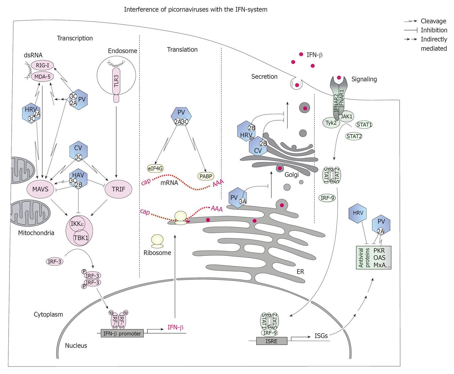 Innate And Adaptive Immune Responses Against
