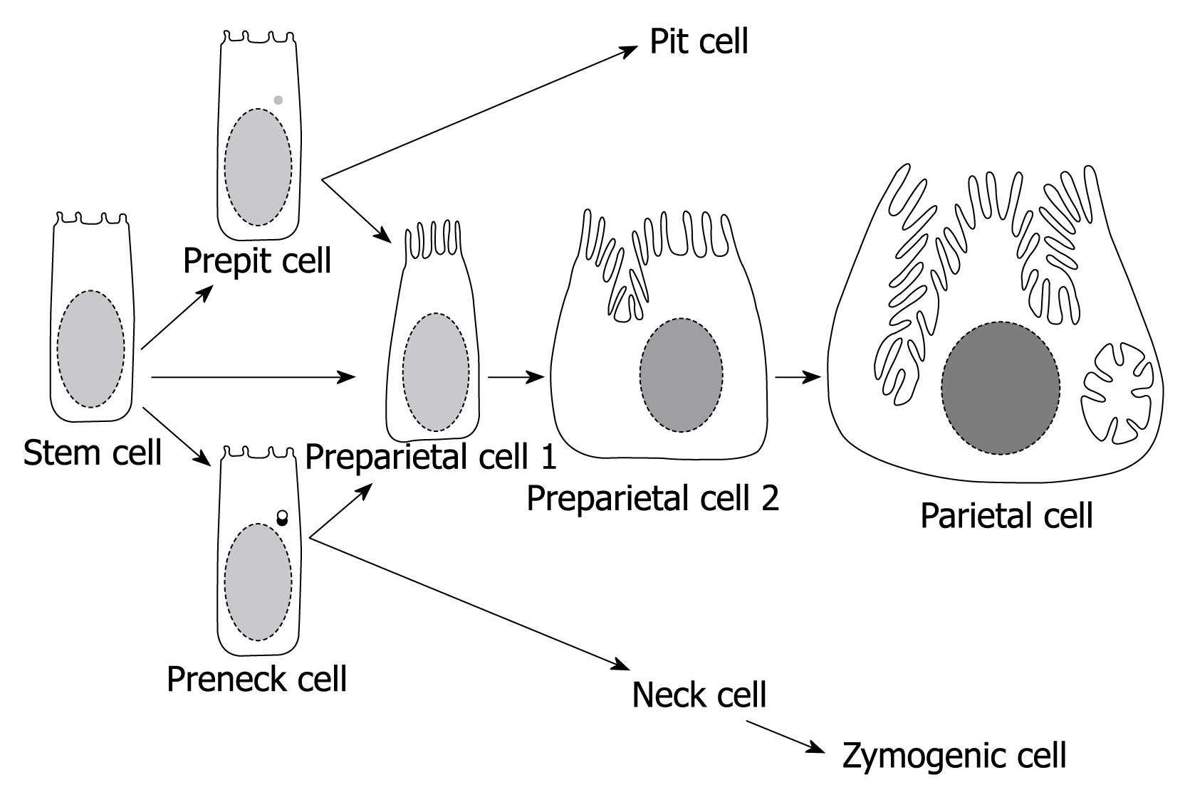 A Focus On Parietal Cells As A Renewing Cell Population