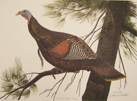 Eastern Wild Turkey by John Ruthven