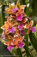 Orchidée (2) - Grandes Serres du Jardin des Plantes (75) - février 2013