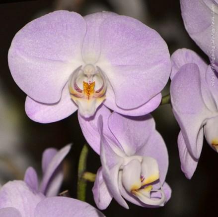 Orchidée (7) - Grandes Serres du Jardin des Plantes (75) - février 2013