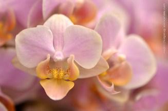 Orchidée (9) - Grandes Serres du Jardin des Plantes (75) - février 2013