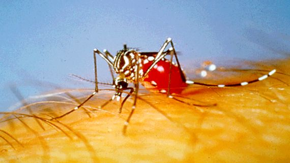 aedes-aegypti-mosquito.jpg