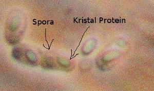 kristal_protein.jpg